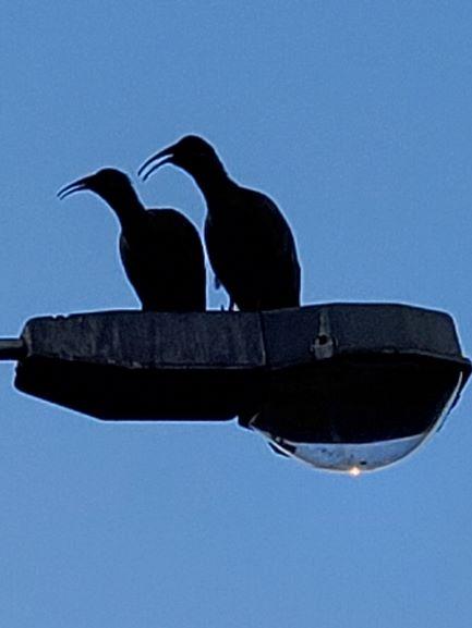 South Africa's Hadeda Ibis.