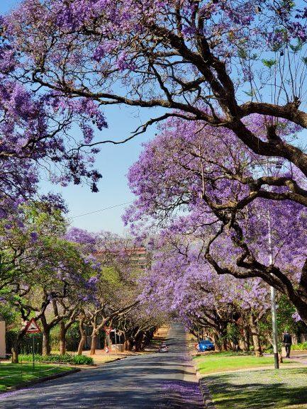 Jacaranda Trees in full bloom.