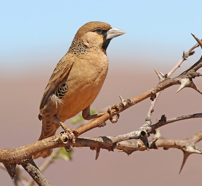 The Weaver Bird.