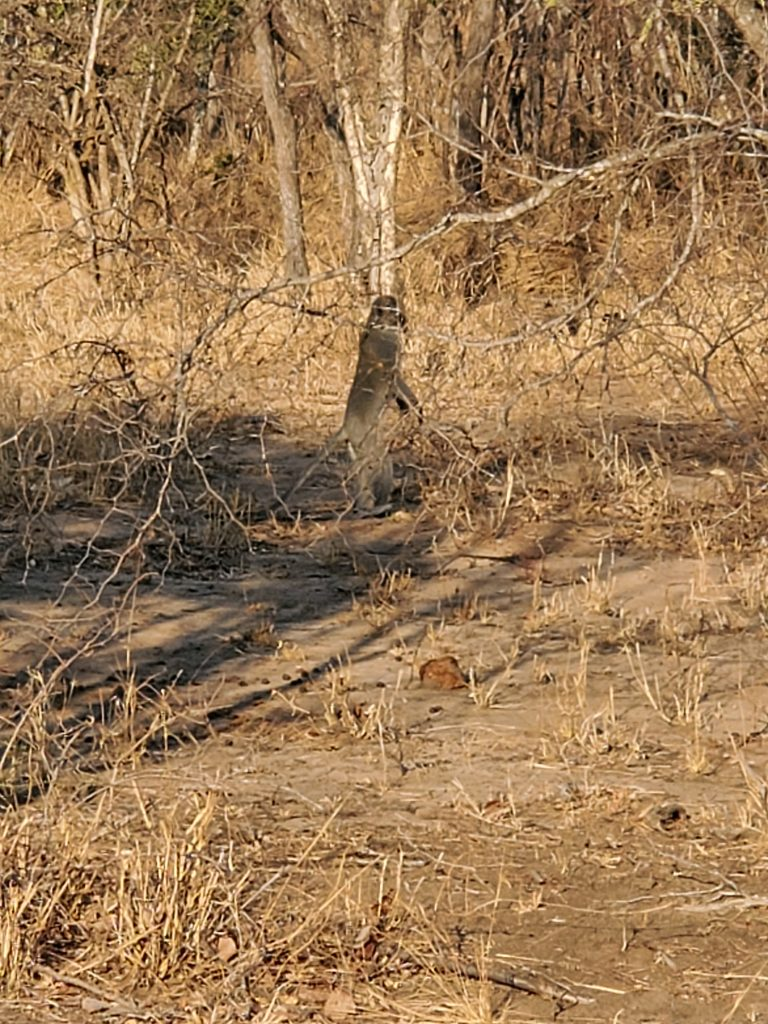 The South African Monkey.