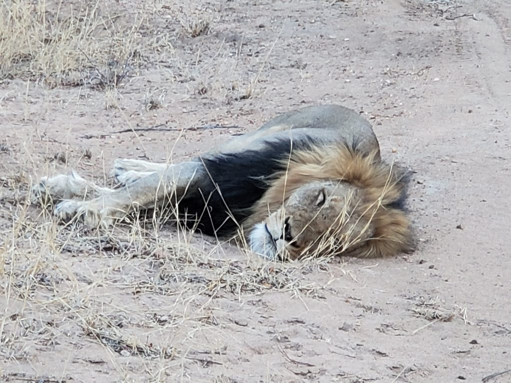 The Lion King trying to take a nap.