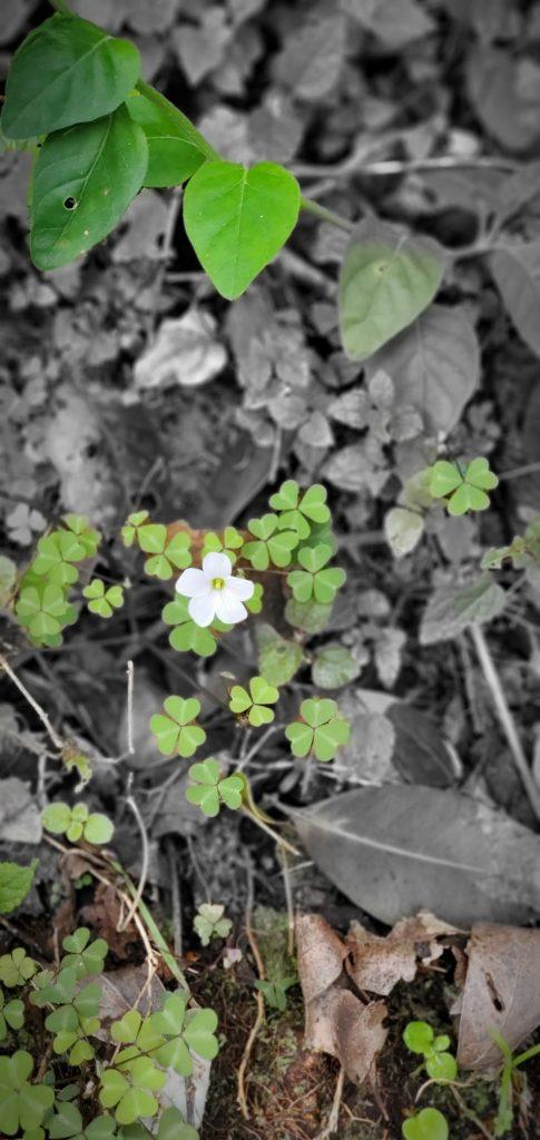 White Flower BW