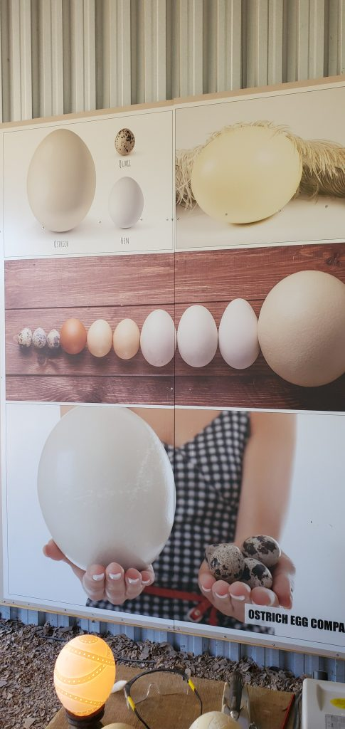 Ostrich Egg Size Comparison to other Eggs