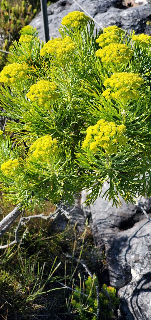 Fynbos, small mountain shrubs, popular in Western and Eastern Cape