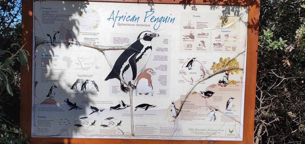 African Penguins congregate at Boulders beach
