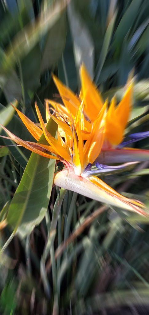 Up close to the Crane flower