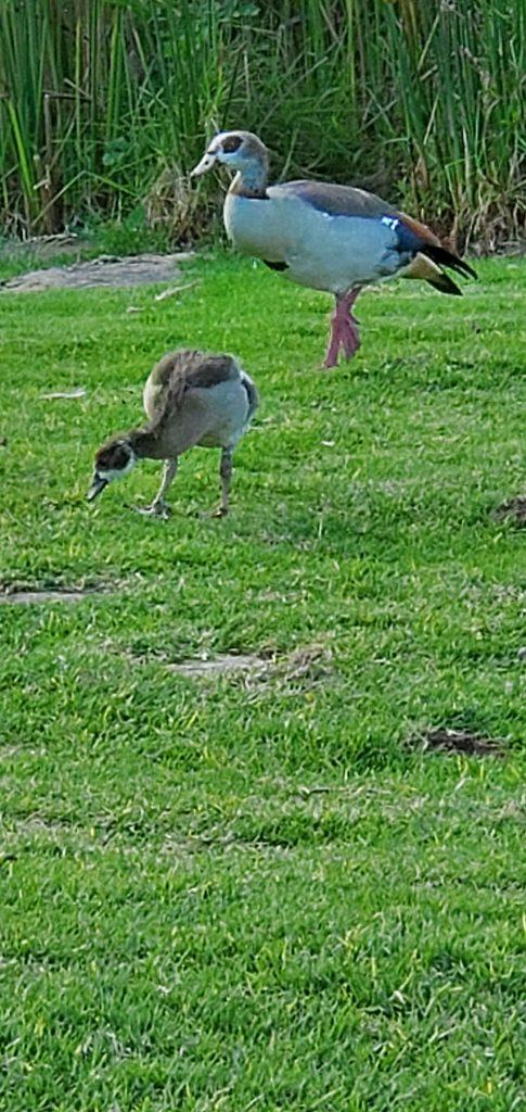 Ducks in Kirstenbosch