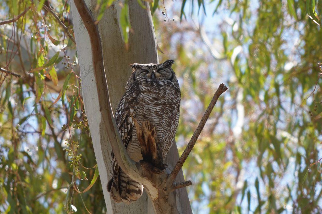 Cape Owl