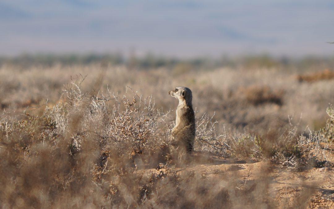 Ep10 Meerkat Safari