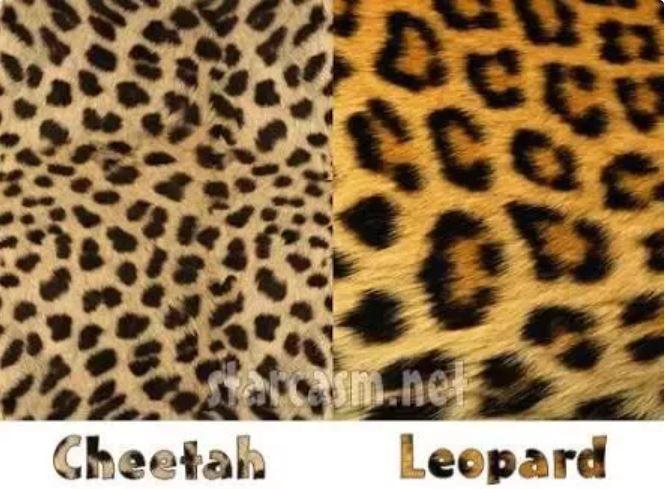 Cheetah versus Leopard.