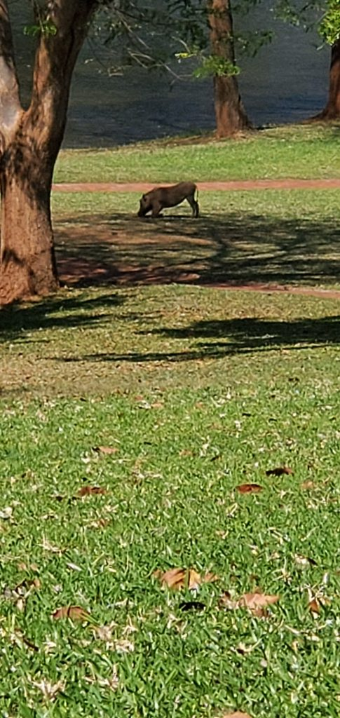 A warthog happily grazing on the grounds just outside of our hotel room.