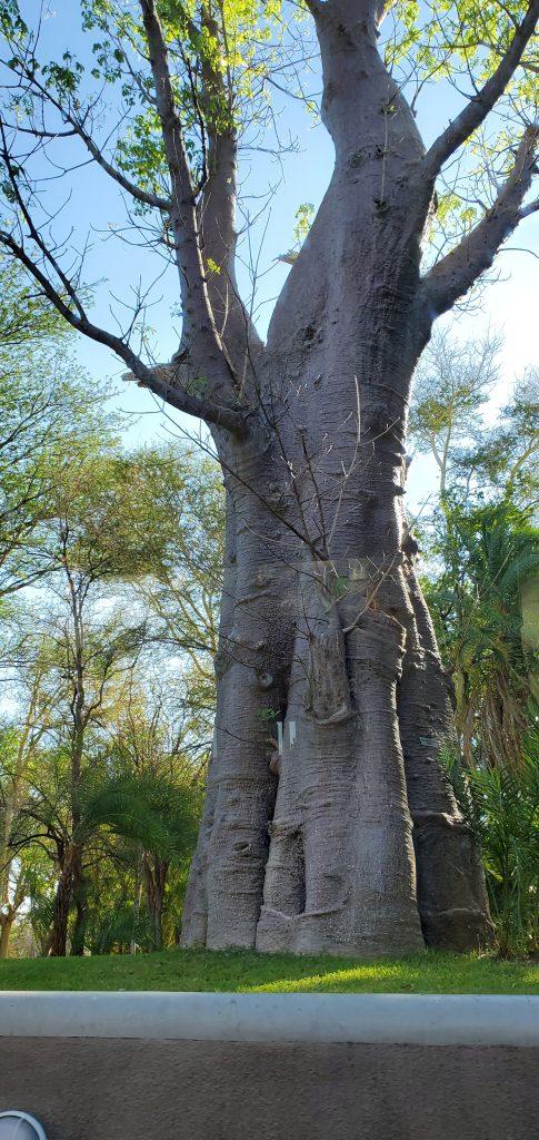 The huge trunk of the Mahogany Tree.