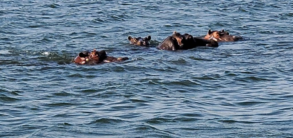 A whole family of hippopotamus in the river.