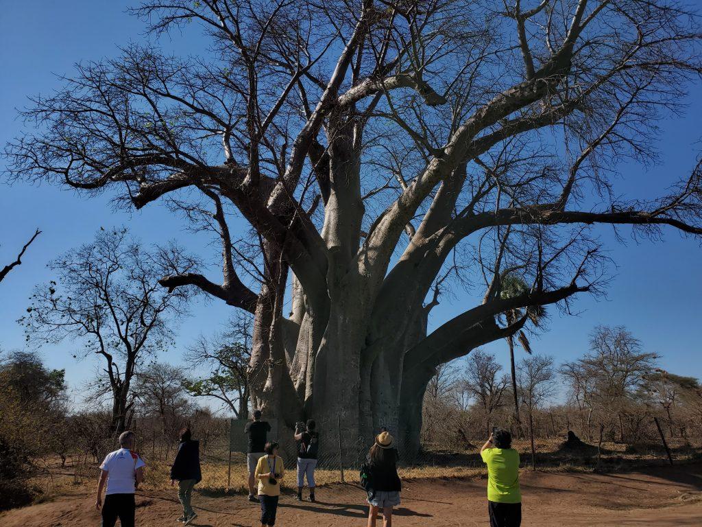 The Big Baobab Tree